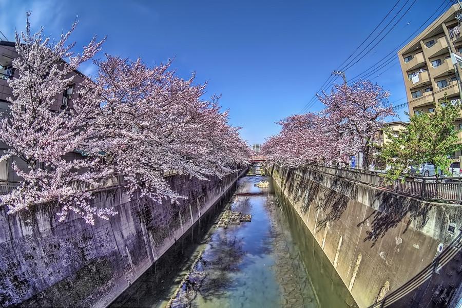 東京 石神井川 3月29日